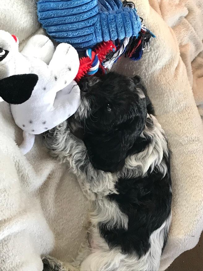 cockapoo puppy.