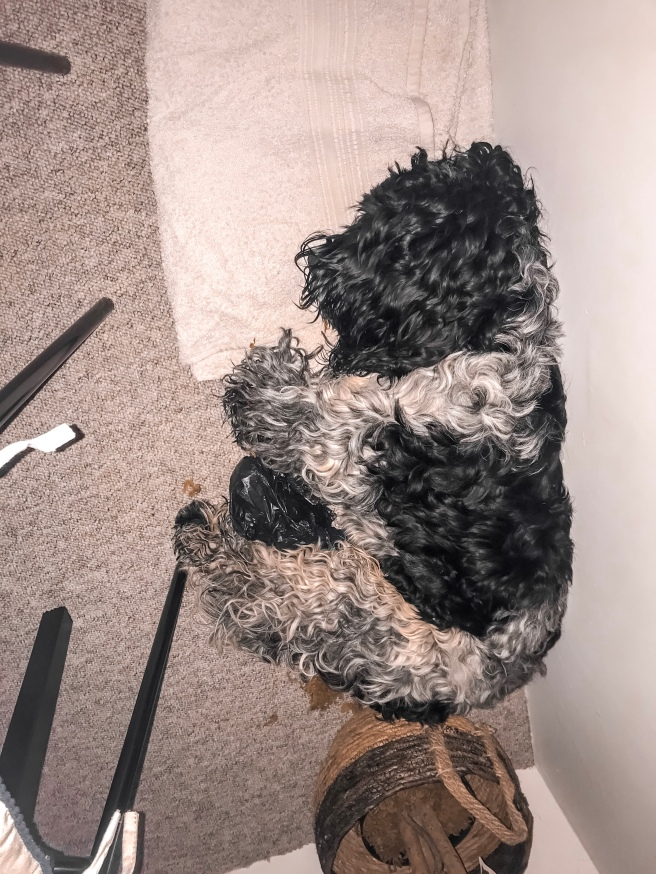 Hendricks the cockapoo